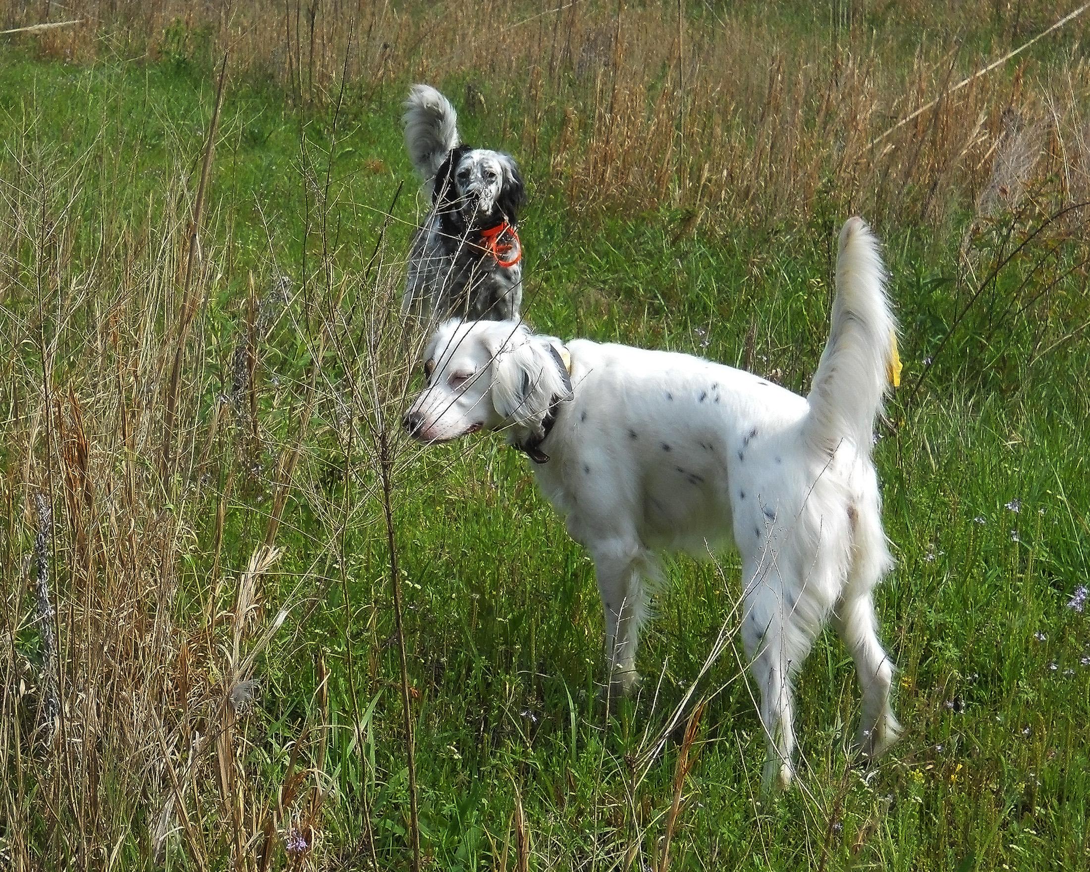 Hunting Dog Training Missouri